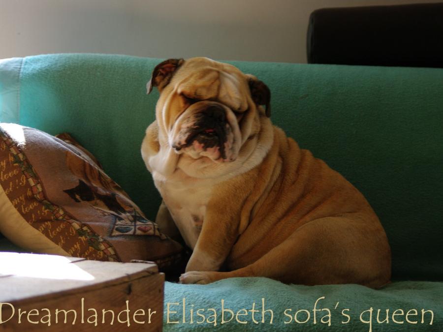 Dreamlander Elisabeth sofa's queen femelle bulldog anglais en Sarthe