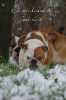 Dreamlander Good Luck femelle bulldog anglais en Sarthe