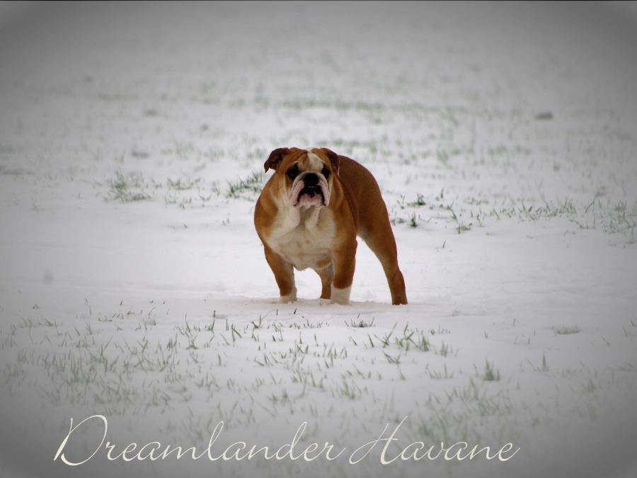 Dreamlander Havane femelle bulldog anglais en Sarthe