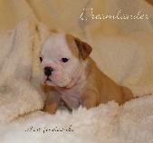 Dreamlander Host Fondcombe femelle bulldog anglais en Sarthe chiot