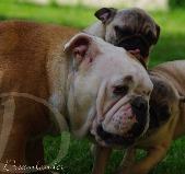Dreamlander Host Fondcombe femelle bulldog anglais en Sarthe