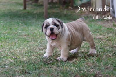 Chiot carlin LOF à vendre chez Dreamlander en Sarthe