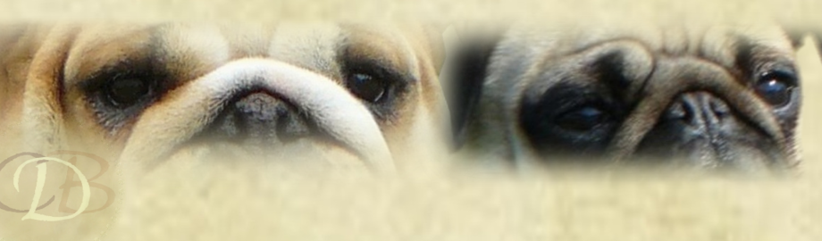 Dreamlander bulldog et carlin en Sarthe